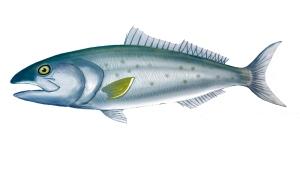 salmon dark